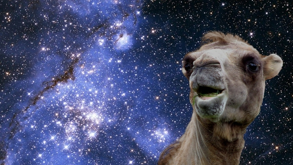 camel funny pictures